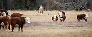 PRICE CHAMBERS / NEWS&amp;GUIDE<br /> Chase Lockhart herds a steer away from a group of bulls.