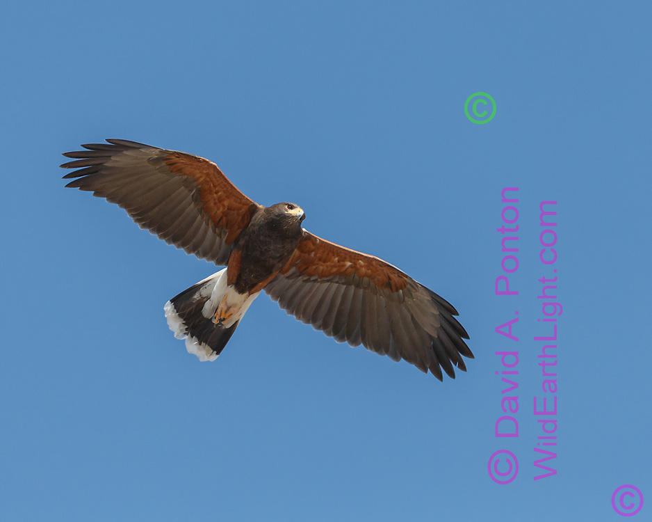 Harris's hawk in flight, scanning below, showing its distinctive wide wings, tipping is long tail slightly for steering. Blue sky background, adult plumage. © 2012 David A. Ponton