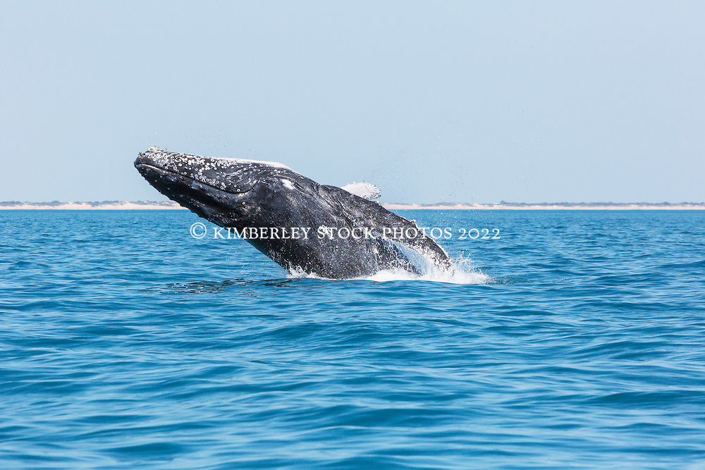 A Humpback whale breaches off Cable Beach north of Broome.