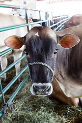 01 August 2014:   McLean County Fair.  Cow barn!