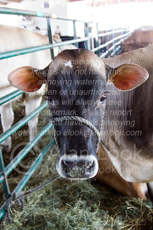01 August 2014:   McLean County Fair.  Cow barn!
