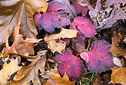 Maple, oak, and poplar leaves in fall color, on the ground