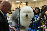 New York, NY - 16 February 2015. Old English sheep dog Swagger getting finishing touches by groomers prior to his entrance in the herding group competition at the Westminster Kennel Club Dog Show. Swagger, registered as Bugaboo's Picture Perfect, took first place in the group.