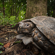 Asian forest tortoise (Manouria emys phayrei) in Kaeng Krachan national park, Thailand