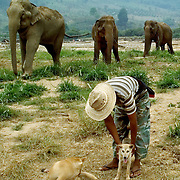 CHIANG MAI - March 3 2006: A mahout, or keeper, and his dog keep watch while elephants graze. Mahouts are very important, even on parks and reserves, to make sure the elephants do not cross into farmers lands and eats crops or damage property. Asian elephants - strong, social, and intelligent - have been trained for thousands of years for use in transportation, labor, and ritual. In Thailand, Elephants are of immense cultural importance, but their numbers are shockingly plummeting. In 1905, there were over 100,000 elephants in this land - now they are estimated at less than 5,000 - of which barely half are in the wild.