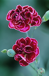 Dianthus 'Laced Monarch'- Carnation, Pink