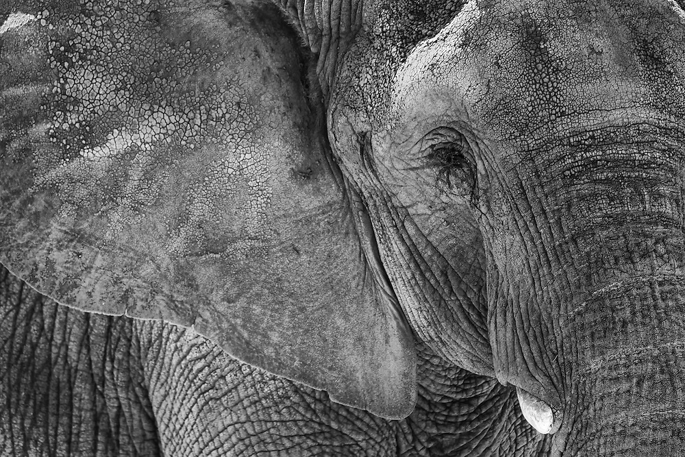 Close up view of an African Elephant in black and white.
