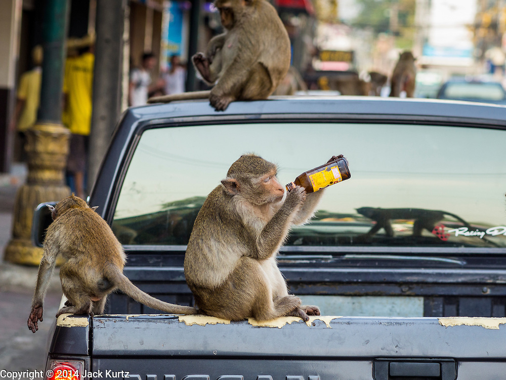 30 NOVEMBER 2014 - LOPBURI, LOPBURI, THAILAND: A long tailed macaque monkey in the back of a pickup truck tries to drink an energy drink after the annual monkey buffet party in Lopburi, Thailand. Lopburi is the capital of Lopburi province and is about 180 kilometers from Bangkok. Lopburi is home to thousands of Long Tailed Macaque monkeys. A regular sized adult is 38 to 55cm long and its tail is typically 40 to 65cm. Male macaques weigh around 5 to 9 kilos, females weigh approximately 3 to 6 kg. The Monkey Buffet was started in the 1980s by a local business man who owned a hotel and wanted to attract visitors to the provincial town. The annual event draws thousands of tourists to the town.    PHOTO BY JACK KURTZ