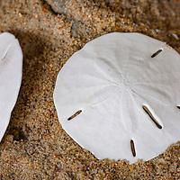 Sand dollars on the beach, Cape Hatteras National Seashore, NC