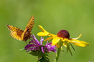 Fritillary butterfly lands on horsemint blossom, with black-eyed Susan, mountain meadow, Jemez Mountains, NM. © 2010 David A. Ponton
