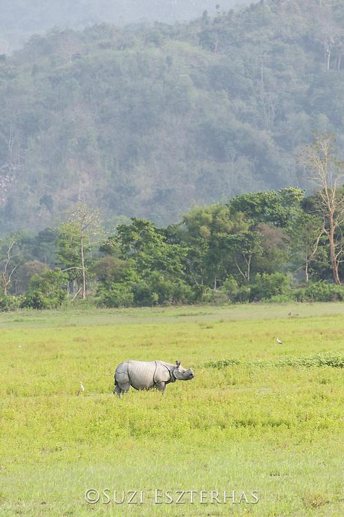 Indian rhinoceros  <br /> Rhinoceros unicornis<br /> Kaziranga National Park, India