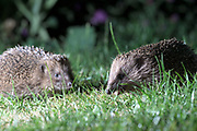 Two hedgehogs in the garden on Tuesday 3 July 2018.