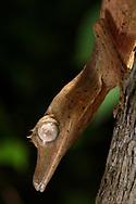 Bambus- Plattschwanzgecko (Uroplatus lineatus), Peyrieras, Madagaskar<br /> <br /> Lined leaf-tailed gecko (Uroplatus lineatus), Peyrieras, Madagascar
