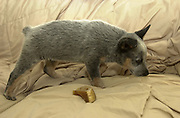 An 8-week-old Queensland Blue Heeler / Australian Cattle Dog puppy named Jazz at home.