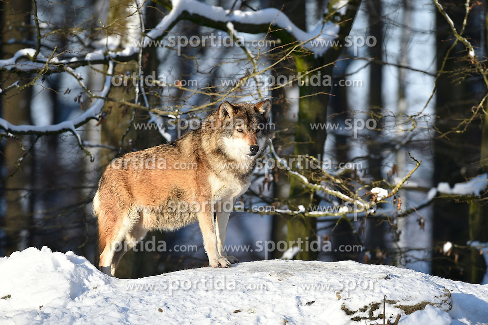 28.12.2014, Wildtierpark, Bad Mergentheim, GER, W&ouml;lfe im Wildtierpark Bad Mergentheim, im Bild maennlicher Leitwolf, Alphawolf, Timberwolf, Kanadischer Wolf (Canis lupus occidentalis) im Schnee, haelt Ausschau, captive // Wolves in the Wildtierpark in Bad Mergentheim, Germany on 2014/12/28. EXPA Pictures &copy; 2015, PhotoCredit: EXPA/ Eibner-Pressefoto/ Weber<br /> <br /> *****ATTENTION - OUT of GER*****