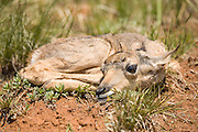 Antelope Fawn in northeastern Wyoming near Sundance, Wyoming.