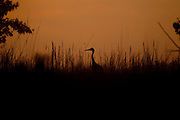 ICF_Prairie.-A Sandhill Crane before sunrise.  The International Crane Foundation's (ICF) mission is to conserve cranes and the ecosystems, or landscapes, on which they depend. In 1980 ICF began restoring native prairie, savanna, wetland, and woodland communities on the newly acquired 160 acre property north of Baraboo, Wisconsin.  The site now serves as an outdoor laboratory with over 100 acres of restored landscapes alongside another 60 acres of natural landscape, where the process of restoration can be explored and the lessons applied worldwide.
