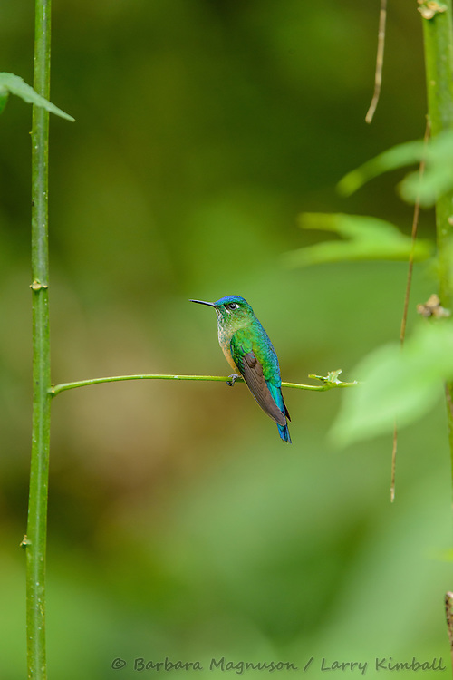 Long-Tailed Sylph Hummingbird [Aglaiocercus kingi, ssp. emmae] female; perched, Cabanas San Isidro, Ecuador
