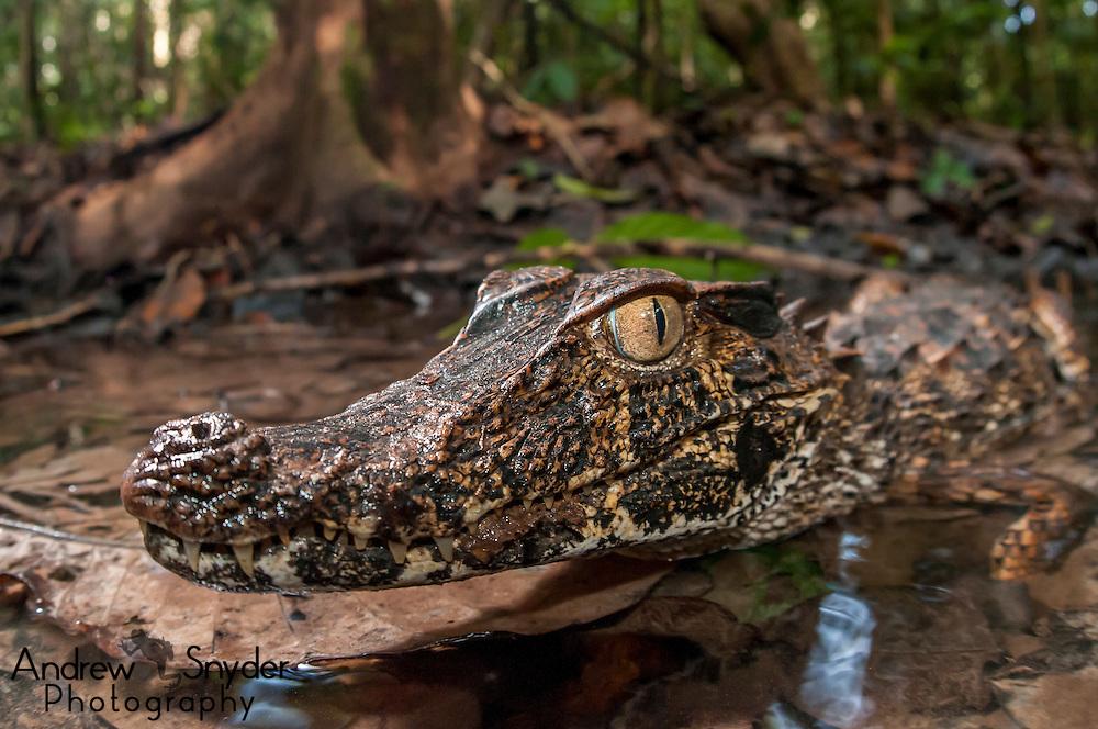 Dwarf caiman (Paleosuchus trigonatus) - Iwokrama, Guyana.
