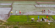 Planting rice in Kaziranga, Assam, India.
