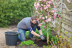Mulching a camellia with garden compost in spring.