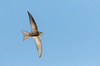 Pallid Swift Apus pallidus in flight against blue sky with mouth open about to catch an insect, Eilat, Israel
