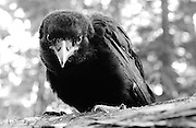 Young crow spent nights on ground before its wings developed fully