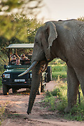 African Elephant (Loxodonta africana) & tourists<br /> <br />  Province<br /> SOUTH AFRICA<br /> RANGE: Throughout sub-Saharan Africa