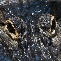 American Alligator, Alligator mississippiensis, closeup of eyes