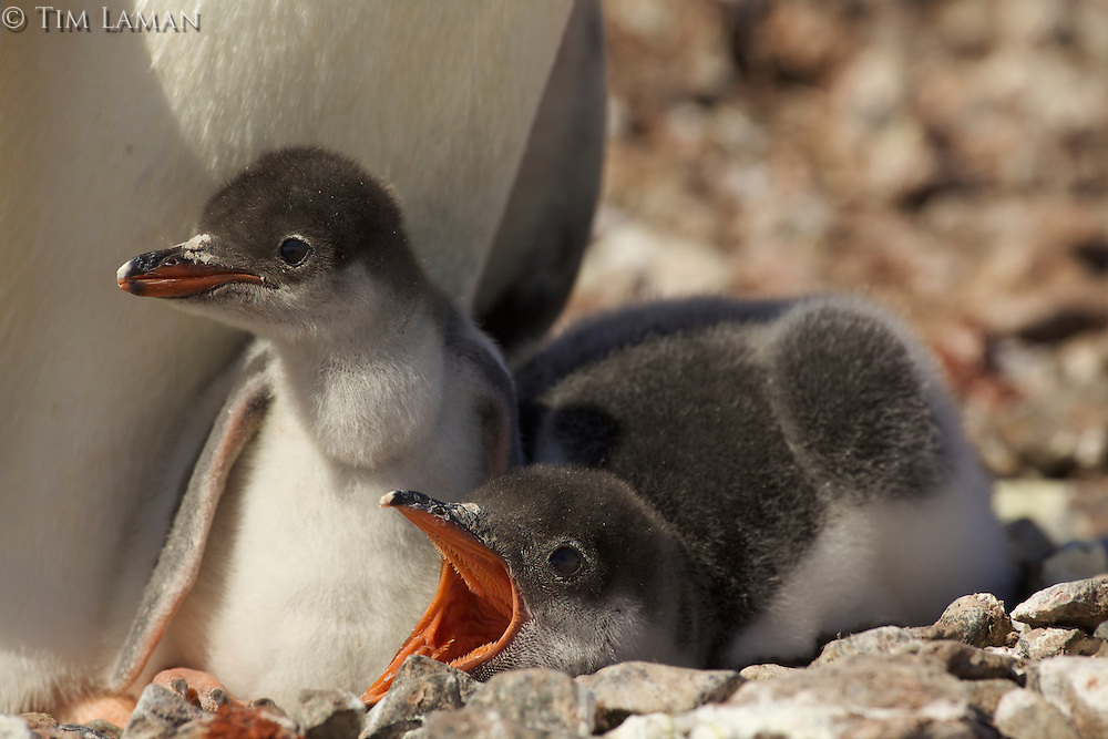 Gentoo Penguin (Pygoscelis papua) chicks in the nest on Cuverville Island, Errera Channel.