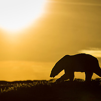 Canada, Nunavut Territory, Repulse Bay, Polar Bear (Ursus maritimus) walking at sunset in hills along rocky coastline of Hudson Bay near Arctic Circle