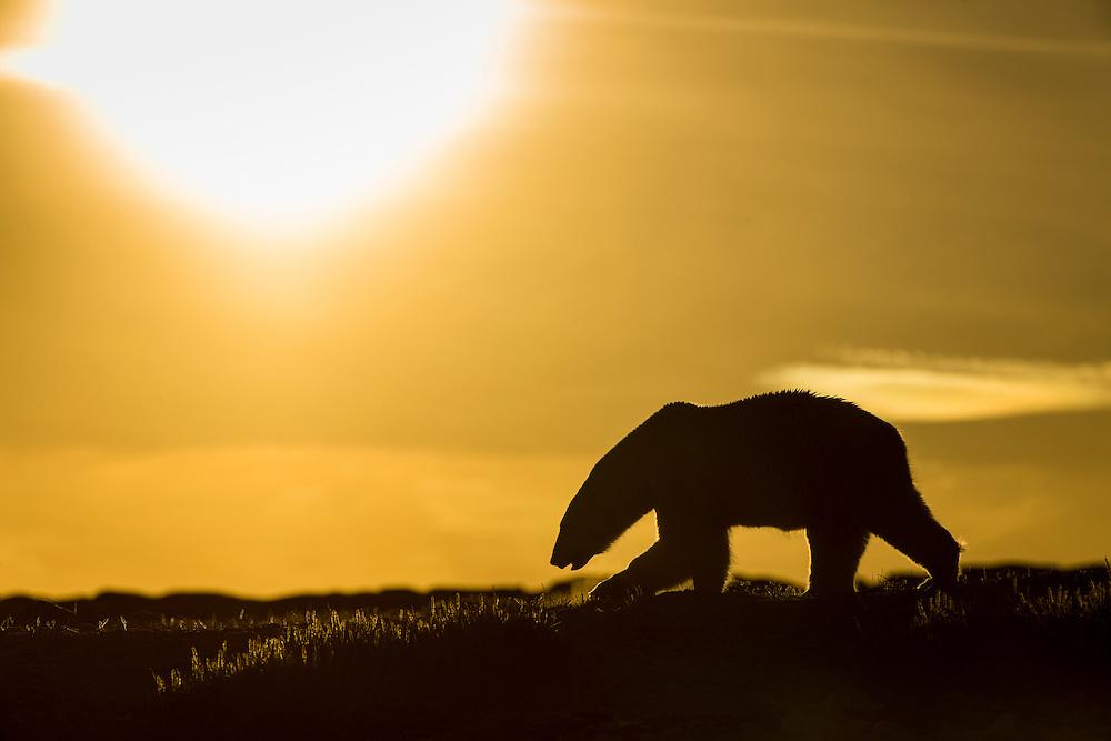 Canada, Nunavut Territory, Repulse Bay, Polar Bear (Ursus maritimus) walking at sunset in hills along rocky coastline of Hudson Bay near Arctic Circle