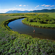 Woman fly fishing near the source of the Henrys Fork of the Snake River near Island Park Idaho in springtime with lupine flowers blooming in foreground. MR