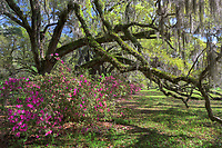 Spring Azalea bloom underneath a row of ancient Live Oak trees at Magnolia Plantation & Gardens in Charleston, South Carolina.  The romantic-styled garden is a must-see sight for anyone when the landscape is showing off its spring bloom cycle.