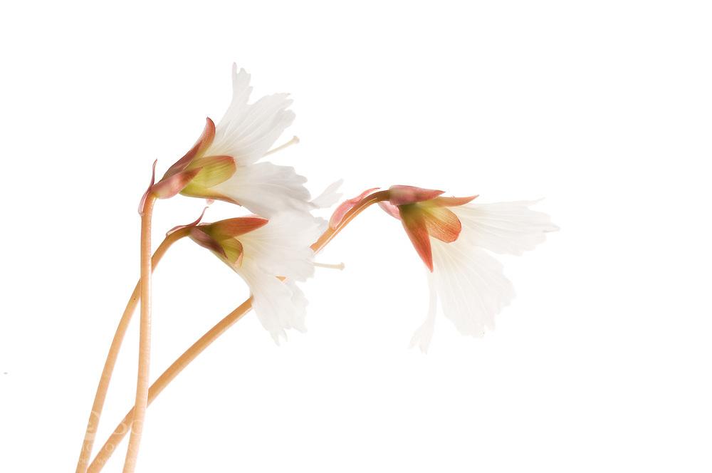 Oconee Bells (Shortia galacifolia), Highlands, North Carolina