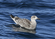 Great Black-backed Gull - Larus marinus<br /> juvenile