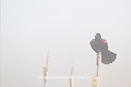 01603-02612 Red-winged Blackbird (Agelaius phoeniceus) male singing/displaying in fog near wetland Prairie Ridge State Natural Area Jasper Co. IL