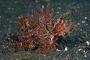 Ambon Scorpionfish (Pteroidichthys amboinensis) in Lembeh Strait, Indonesia.