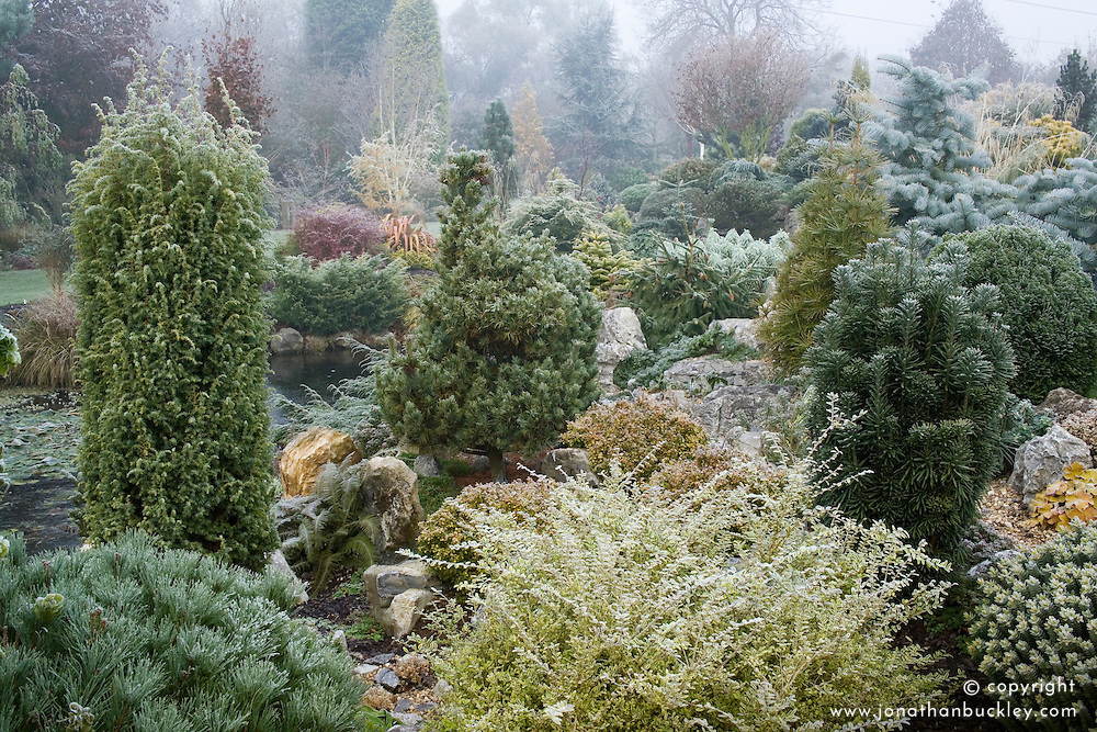 Conifers on the rock garden in John Massey's garden at Ashwood Nurseries in winter