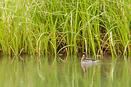 Red-necked Phalarope (Phalaropus lobatus) feeding in pond at Pilgrim Hot Springs outside of Nome on the Seward Peninsula in Northwest Alaska. Spring. Afternoon.