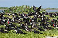 Lesser Frigatebird photos