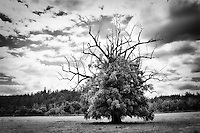 A black and white version of this lone tree with the crazy hair do.