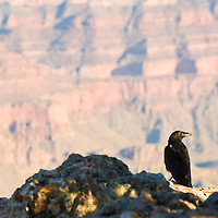 Crow on rock in the Grand Canyon at sunrise, Arizona, USA