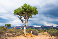Blue Thorn trees against a stormy backdrop, Marataba Private Game Reserve, Limpopo, South Africa