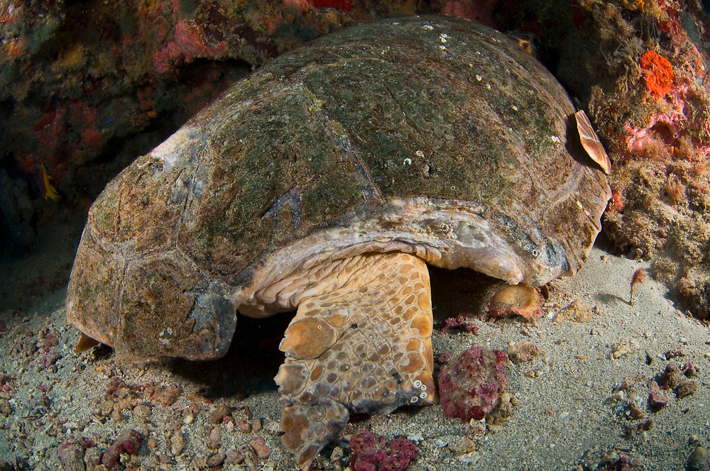 Loggerhead Sea Turtle (Caretta caretta) sleeping underneath a ledge in Juno Beach, FL. Notice healing shark bite on shell.