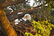 Two bald eagle chicks (Haliaeetus leucocephalus), approximately one month of age, seem to hide on the nest as their parent watches over them.