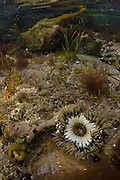 Starburst anemone (Anthopleura sola), a solitary species commonly tide pool inhabitant of  the North American west coast; from Alaska to Baja California, Mexico. Long lived, these beautiful anemones may live over a century. Cabrillo National Monument, San Diego CA, USA