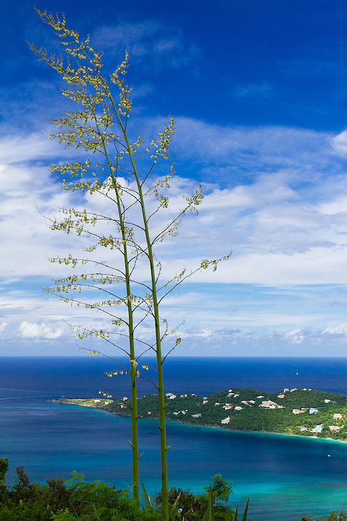 Giant, twin flower stalks of the False Agave or Mauritius Hemp (Furcraea foetida) overlook Magen's Bay from Drake's Seat on St. Thomas, US Virgin Islands. These plants are similar to agave in that after they bloom they die. Species is endemic to the Caribbean.