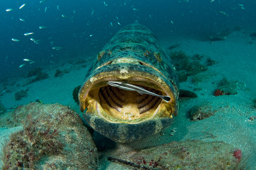 A whitefin remora Echeneis neucratoides cleans the inside of the mouth of a goliath grouper Epinephelus itajara in Palm Beach, Florida. Endangered