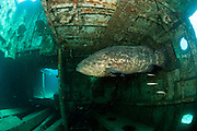 Goliath Grouper, Epinephelus itajara, swims inside the Danny shipwreck offshore Singer Island, Florida, United States during the summer spawning aggregation.